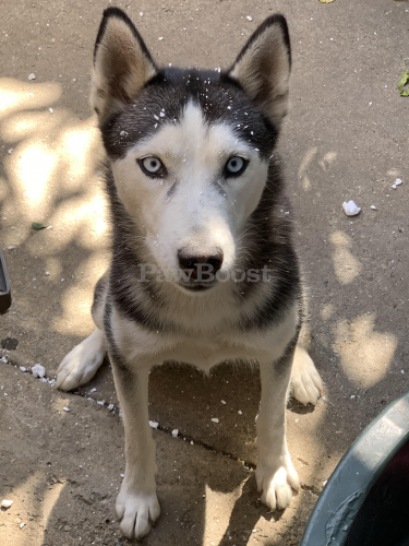 Lost Female Dog last seen Around the house, Lynwood, CA 90262