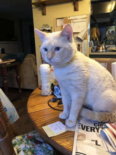 Lost Male Cat last seen Imperial hwy/ Cordova , La Mirada, CA 90638