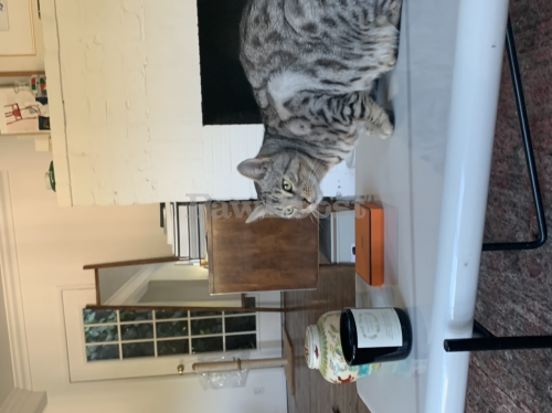 Lost Male Cat last seen Kirkwood, West Hollywood, CA 90046