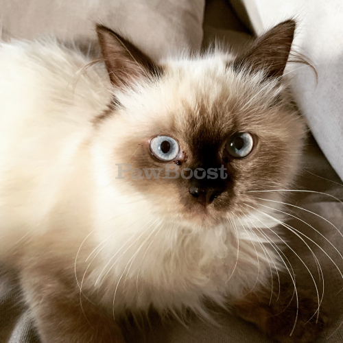 Lost Male Cat last seen Panaewa- Mikioi Street, Hilo, HI 96720