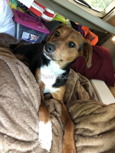 Lost Female Dog last seen Denbigh, Jefferson, Beechwood, Newport News, VA 23608