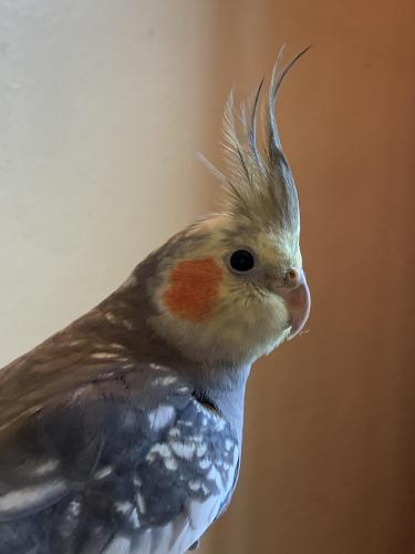 Lost Male Bird last seen Clarence St and Wailes, Norfolk, VA 23502