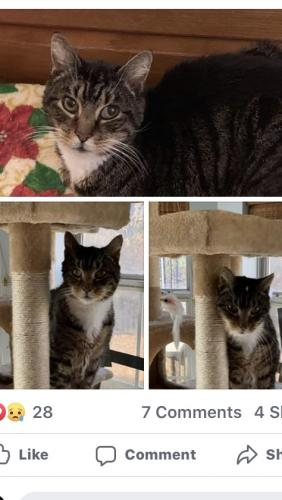 Found/Stray Male Cat last seen Near West Constance Rd., Suffolk, VA , Suffolk, VA 23434