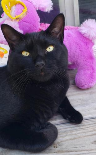 Lost Male Cat last seen Windsor gate pl and S plaza, Virginia Beach, VA 23452