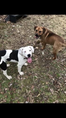 Lost Male Dog last seen S greenfield ave, Hampton, VA 23669