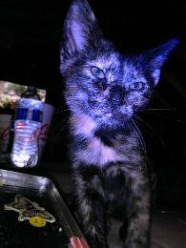 Lost Female Cat last seen Kings Neck Dr. - Mayfair Ct. , Virginia Beach, VA 23452