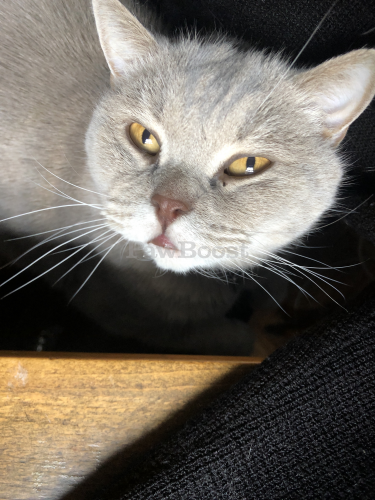 Lost Male Cat last seen The New School, 6th Ave, New York, NY 10011