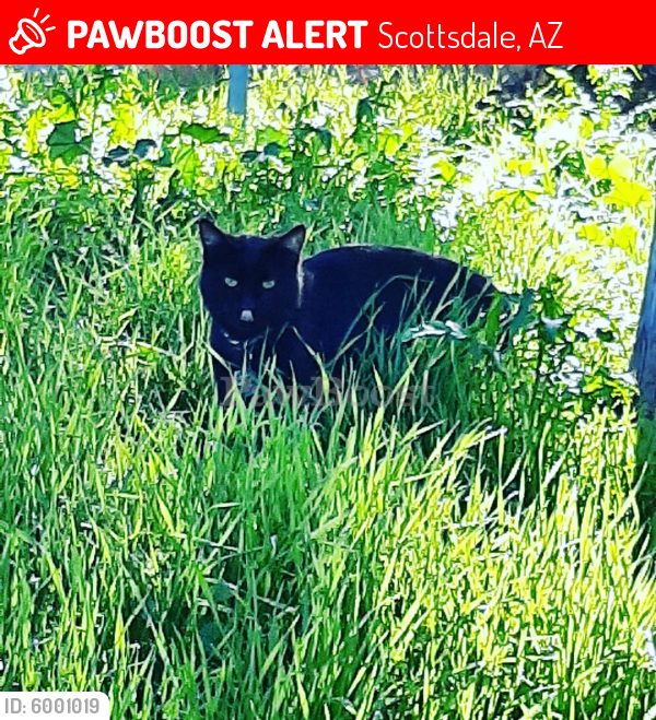 Lost Male Cat last seen Scottsdale rd & Thomas rd, Scottsdale, AZ 85257