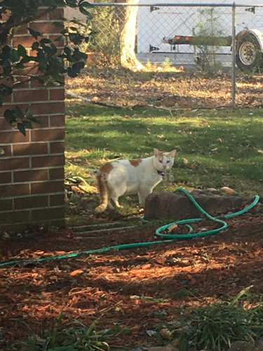 Found/Stray Unknown Cat last seen Aspenwood Dr and Butternut Dr. , Hampton, VA 23666