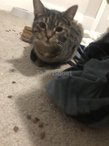 Lost Female Cat last seen Killam and 35th street, Norfolk, VA 23508