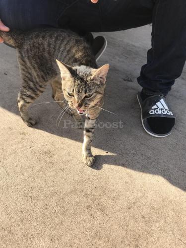 Found/Stray Female Cat last seen Merrifields , Portsmouth, VA 23703