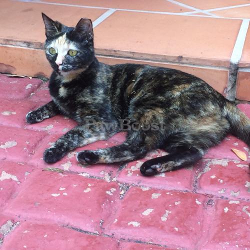 Lost Female Cat last seen Near SW 118th Court, Miami, FL 33183