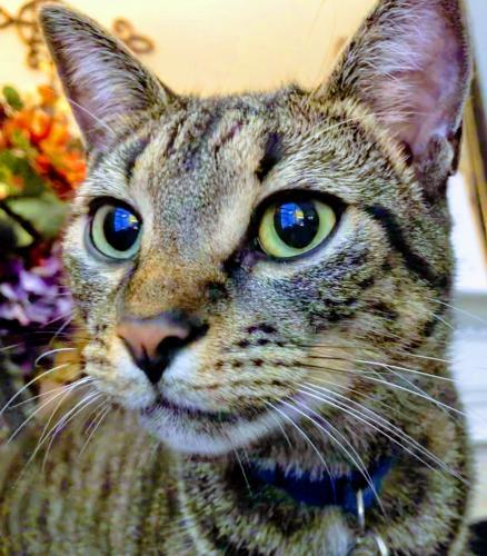 Lost Male Cat last seen Runningman community, Yorktown Va, Yorktown, VA 23693