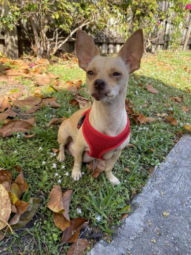 Found/Stray Female Dog last seen I-95 and 62nd st, North Miami, FL 33161