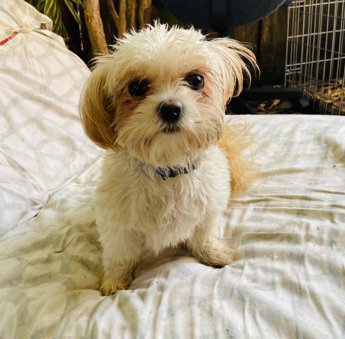 Lost Female Dog last seen Near Coolidge st., Hollywood, FL 33020