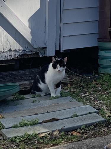 Found/Stray Unknown Cat last seen North Crestline & Sale Dr, Chesapeake, VA 23323