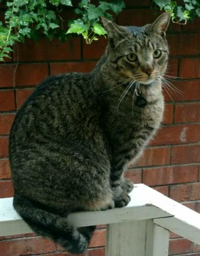 Lost Male Cat last seen San Vicente Blvd between Ocean Ave & 4th St, Santa Monica, CA 90402