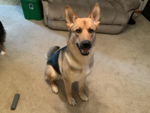 Lost Male Dog last seen York Elementary School, Vancouver, WA 98682