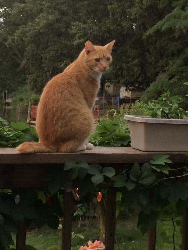 Lost Male Cat last seen Riversedge and Andrews Blvd, Hampton, VA 23669