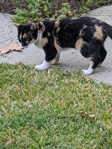 Lost Female Cat last seen Domart Ave and Excelsior, Norwalk, CA 90650