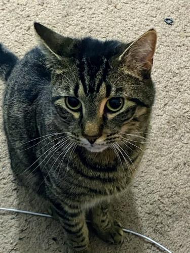 Lost Male Cat last seen Silverleaf court, Virginia Beach, VA 23462