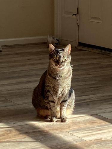 Lost Male Cat last seen Echingham drive, Virginia Beach, VA 23464