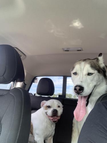 Found/Stray Female Dog last seen  Ego drive Oceana , Virginia Beach, VA 23454