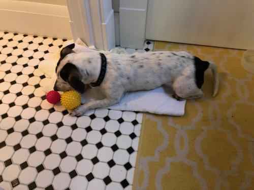 Found/Stray Male Dog last seen Hampton blvd , Norfolk, VA 23508