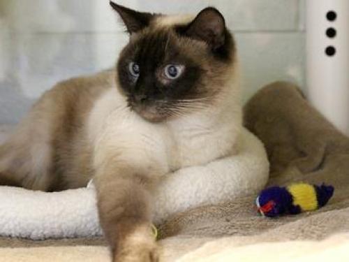 Lost Male Cat last seen Dam Neck, Virginia Beach, VA 23453