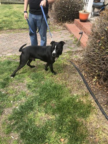 Found/Stray Male Dog last seen East Randall ave Norfolk, va 23503, Norfolk, VA 23503
