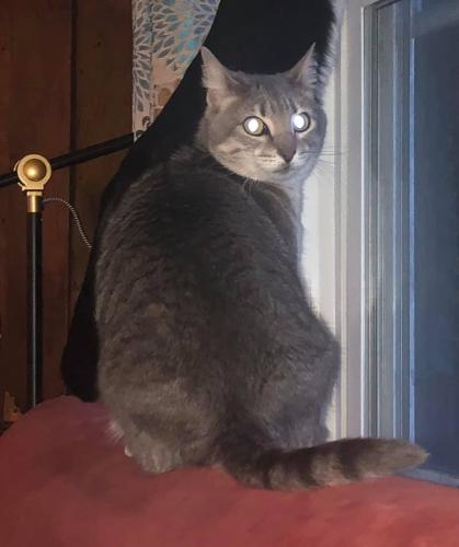 Lost Female Cat last seen Whistle Town Road and Fernham Road, Chesapeake, VA 23322