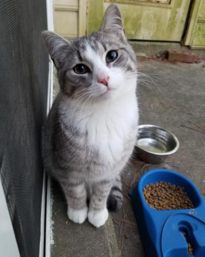 Lost Male Cat last seen Winston Townhouses off of Winston Ave. Dimmock Ave is behind our property line, Newport News, VA 23601