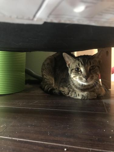 Found/Stray Male Cat last seen Trooper court, Virginia Beach , Virginia Beach, VA 23451