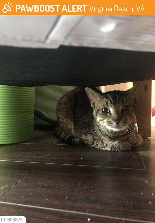 Surrendered Male Cat last seen Trooper court, Virginia Beach , Virginia Beach, VA 23451