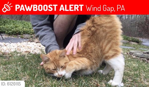 Lost Male Cat last seen 10th Street and Broadway in WindGap PA , Wind Gap, PA 18091
