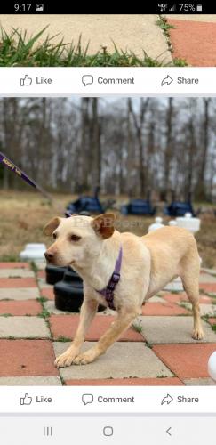Lost Female Dog last seen Reston national golf course, Reston, VA 20191