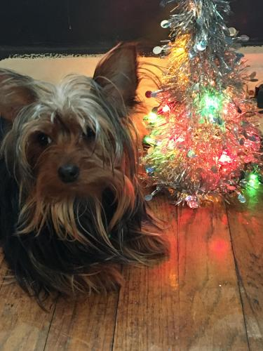 Lost Female Dog last seen Sellers and 120th , Cleveland, OH 44108