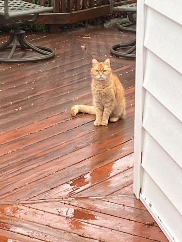 Found/Stray Unknown Cat last seen Near West Srpingfield Elementary School, West Springfield, VA 22152