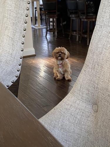 Lost Male Dog last seen Hanover Avenue , Springfield, VA 22150