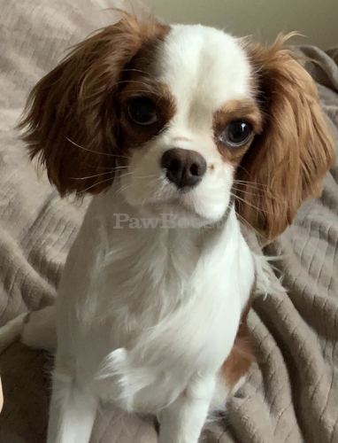 Lost Female Dog last seen University Blvd. , Wheaton-Glenmont, MD 20902