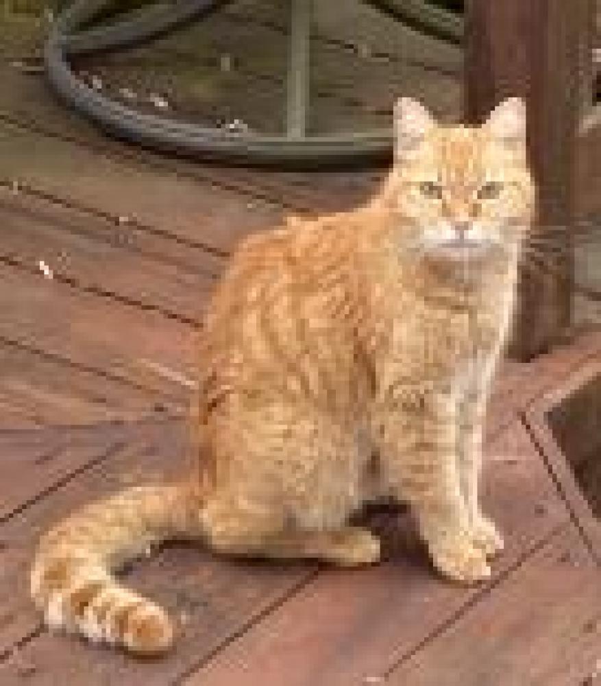 Shelter Stray Unknown Cat last seen Springfield Doane Ave, Fairfax County, VA, West Springfield, VA 22152