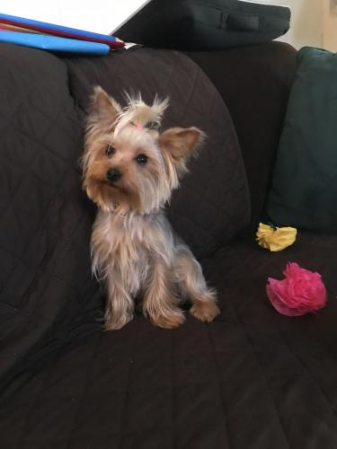 Lost Female Dog last seen Grand Ave and McClintock Street, Temple City, CA 91780