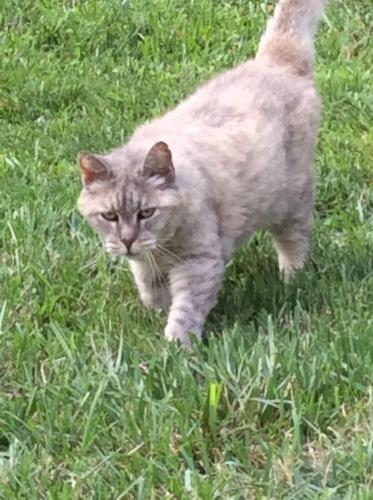 Lost Female Cat last seen Sir Lionel court (Kings Charter neighborhood) and Cheyenne Road., Newport News, VA 23608
