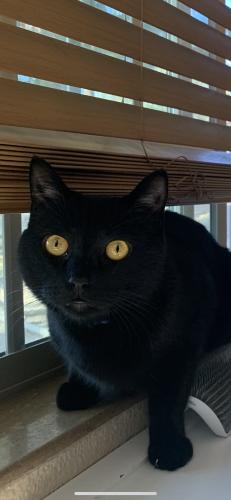 Lost Male Cat last seen E harmony ave, Mesa, AZ 85204