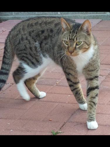 Found/Stray Male Cat last seen Sir Lionel Court/Kings Charter neighborhood of Newport News, Newport News, VA 23608
