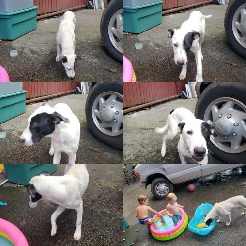 Found/Stray Male Dog last seen 28th Ave, Hawaiian Paradise Park, HI 96749