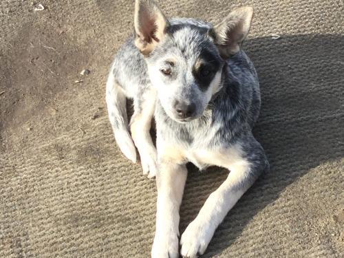 Lost Female Dog last seen Tamarack Ave , Telfair Ave, Los Angeles, CA 91352