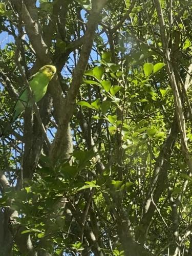 Found/Stray Male Bird last seen Monterey & Carillo Norfolk Virginia , Norfolk, VA 23508