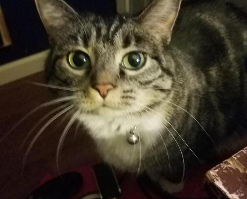Lost Female Cat last seen Langdon dr , Pueblo, CO 81001
