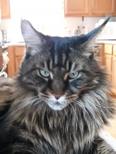 Lost Male Cat last seen Iron mountain and meadowmont, Chapel Hill, NC 27517